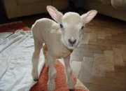lamb orphaned