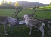 reindeer-evening-meal-with-sneaky-emu_600x448