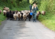 sheep walk