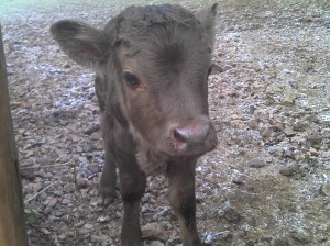 new born Dexter calf January 2012